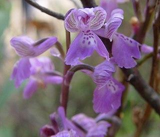 <i>Anacamptis morio</i> species of plant