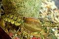 Orconectes rusticus in Aquarium2.jpg