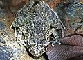 Oriente Stream Frog (Eleutherodactylus cuneatus) (8572427358).jpg
