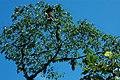 Oropendola nests 2015-06-15 (1) (38520108380).jpg