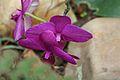 Orquidea-Clima Humedo (6) (11983438506).jpg