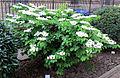 Orto botanico, fi, viburnum plicatum cv 01.JPG