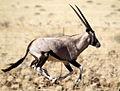 Oryx.jpg