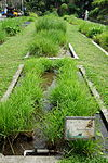 Oryza rufipogon - National Taiwan University - DSC01108.JPG