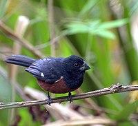 Oryzoborus angolensis