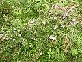 Osbeckia brachystemon-1-chemungi-kerala-India.jpg
