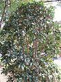 Osmanthus fragrans var aurantiacus f thunbergii1.jpg
