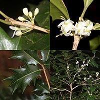 Osmanthus heterophyllus (Montage).jpg
