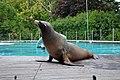 Otarie de Californie (Zoo Amiens)e.JPG