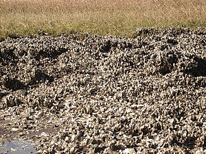 Cockspur Island - Image: Oyster Bed
