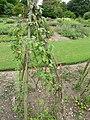 P1000416 Ipomoea lobata (Spanish Flag) (Convolvulaceae) Plant.JPG