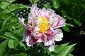 Paeonia lactiflora Abalone Pearl 1zz.jpg