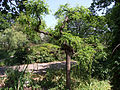 Pagoda tree (cultivar) in Odessa Botanical garden.jpg