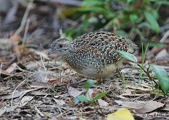 Painted buttonquail - Image: Painted Button quail