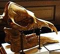 Palaeomastodon beadnelli 1.jpg