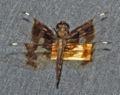 Palpopleura lucia2.jpg