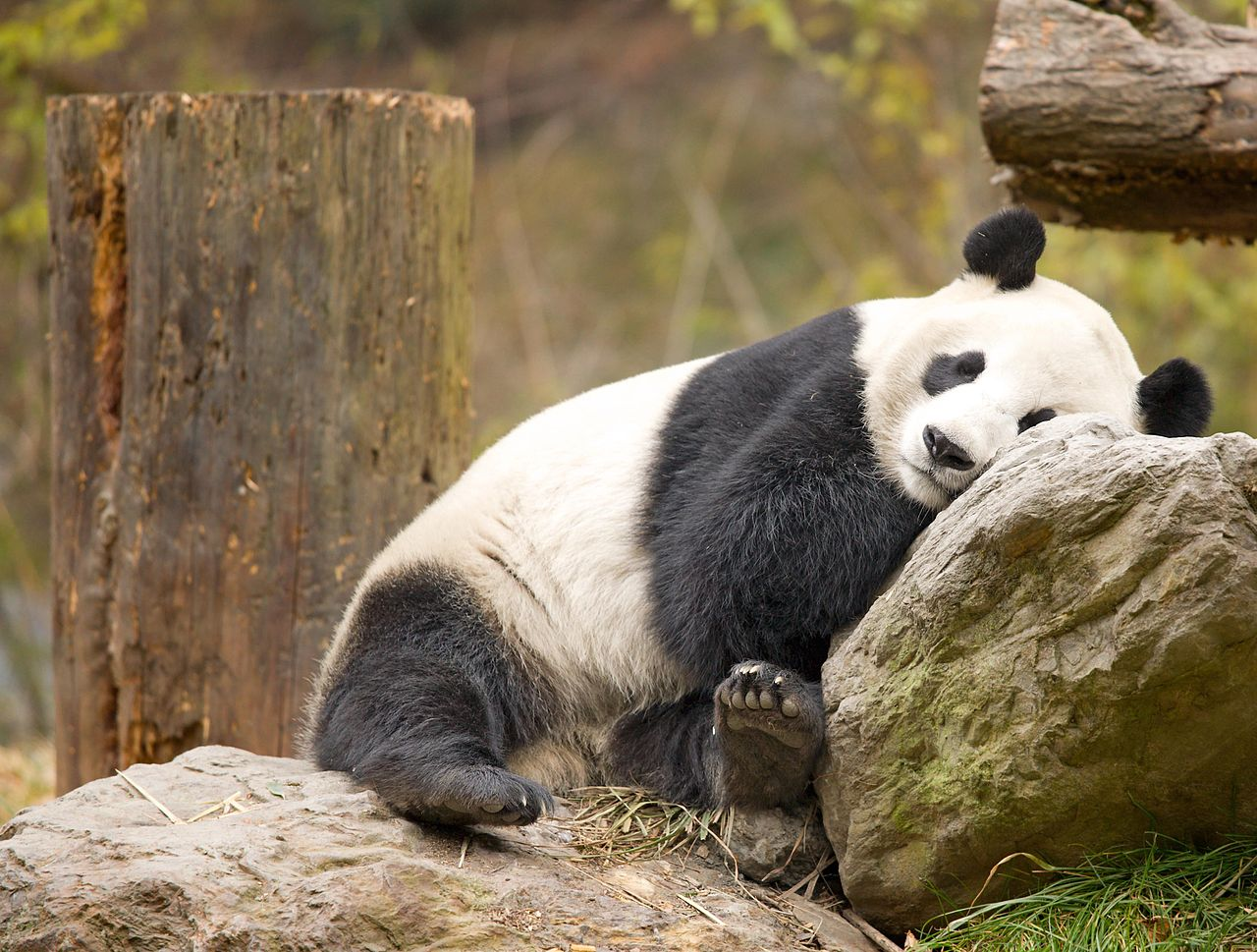 File:Pandas!! (GIANT PANDA-WOLONG-SICHUAN-CHINA ...