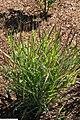Panicum virgatum Shenandoah 13zz.jpg