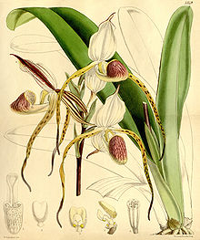 Paphiopedilum stonei (as Cypripedium stonei)-Curtis 88-5349 (1862).jpg