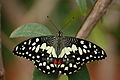 Papilio demoleus 1194.JPG