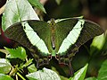 Papilio palinurus (1).jpg