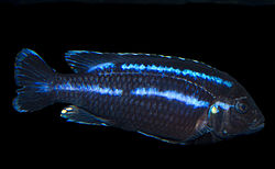 Parallel Striped Mbuna (Male) Melanochromis parallelus.jpg