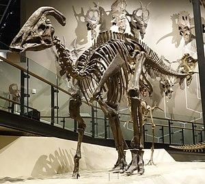 Parasaurolophus - P. cyrtocristatus skeleton, Natural History Museum of Utah
