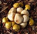 Parasitische Röhrling (Pseudoboletus parasiticus) an Dickschaligen Kartoffelbovisten - ansicht-hms(1).jpg