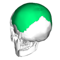 Parietal bone posterior2.png