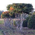 Parrotia arbor belgium.jpg