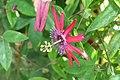 Passiflora Pura Vida 0zz.jpg