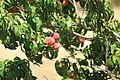 Peach tree - panoramio.jpg