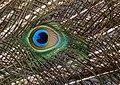 Peacock feathers. (8315379513).jpg