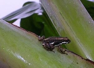 Malabar tree toad - Phytotelmatous habitat