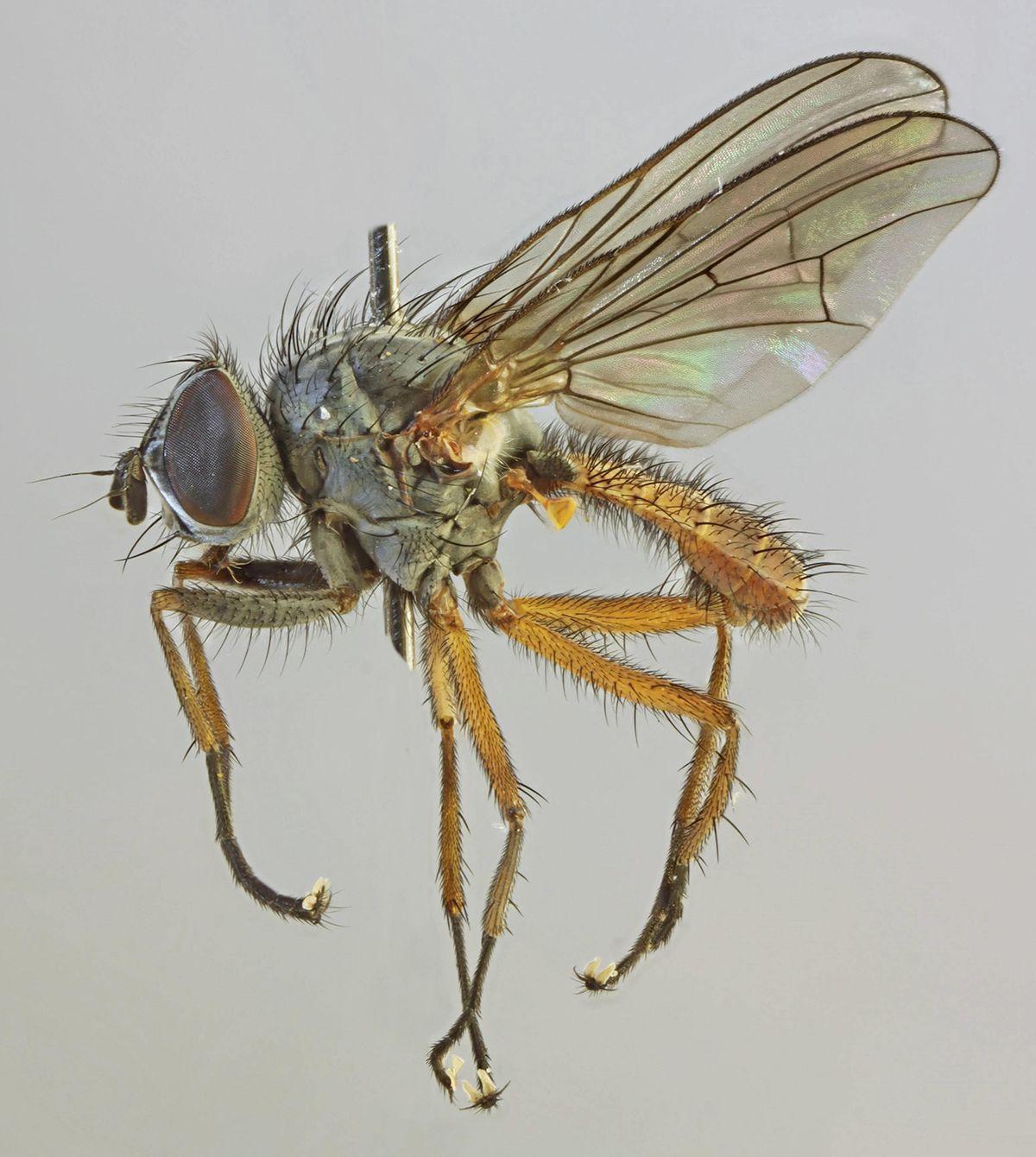 Anthomyiidae - Wikispecies