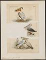 Pelecanus rufescens - 1700-1880 - Print - Iconographia Zoologica - Special Collections University of Amsterdam - UBA01 IZ18000165.tif
