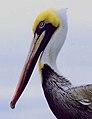 Pelican-HP.jpg