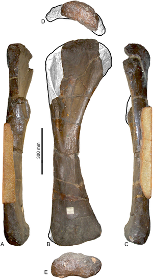 Pelorosaurus - Holotype humerus