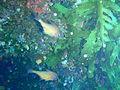 Pempheris klunzingeri Rough bullseye PC280304.JPG