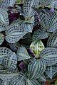 Peperomia sandersii - Kolkata 2013-11-10 4491.JPG