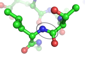 A peptide bond (circled) between Leu and Thr i...