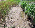 Perennial rice regrowth.JPG