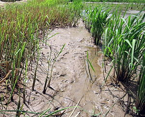 Perennial rice - Rice regrowing from rhizomes