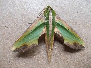 Moth - Wikipedia