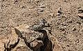 Petronia petronia - Rock sparrow 03.jpg