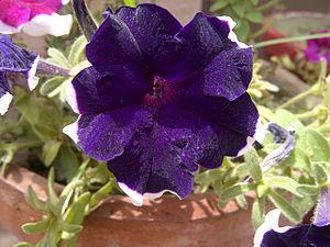Petunia - Image: Petunia 4