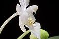 Phalaenopsis parishii fma. alba (x self) Rchb.f., Bot. Zeitung (Berlin) 23- 146 (1865) (35181818720).jpg