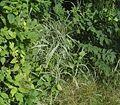 Phalaris arundinacea2 ies.jpg