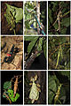 Phasmatodea overview.jpg