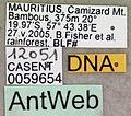 Pheidole megacephala casent0059654 label 1.jpg